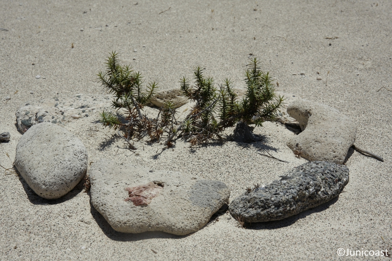 Juniperus macrocarpa, June 2009