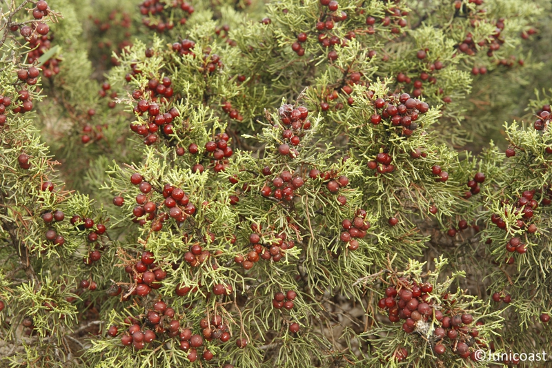 Juniperus phoenicea fruits, November 2010
