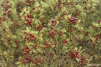 Juniperus_phoenicea__2__medium