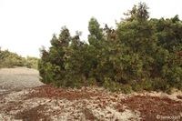 Juniperus_phoenicea__5__medium
